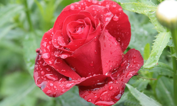 Raindrops-On-Red-Rose