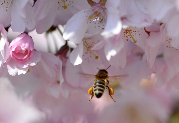 A-bee-collects-pollen-from-a-cherry-blossom