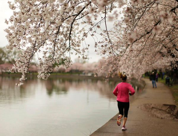 A-jogger-runs-by-early-emerging-cherry-blossoms