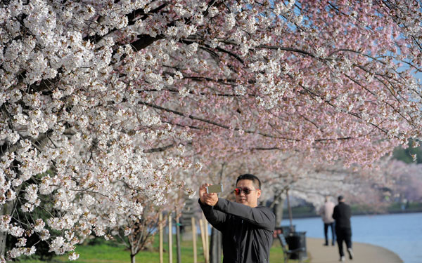 A-man-photographs-cherry-blossoms