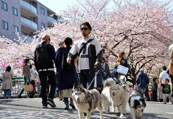 A-man-walks-with-his-dogs-under-fully-bloomed-cherry-blossoms