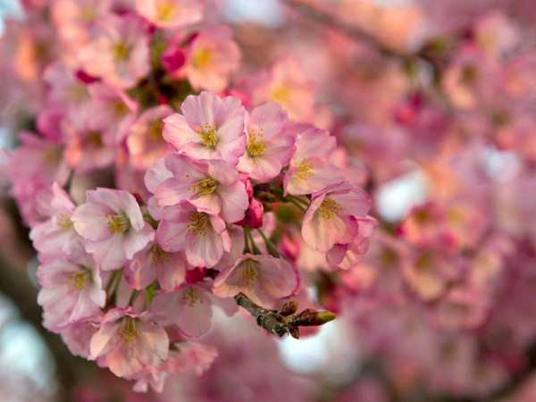 Cherry-Blossoms-1