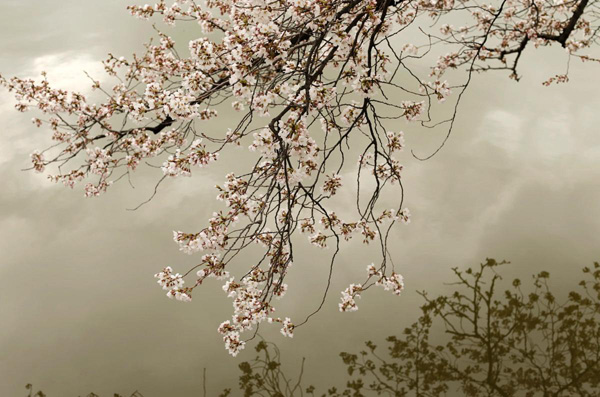 Cherry-Blossoms-9