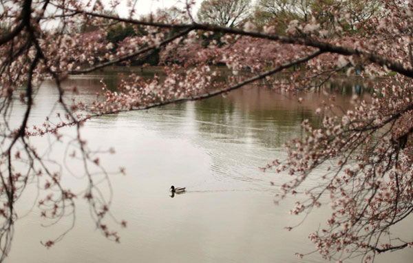 duck-swims-past-emerging-cherry-blossoms