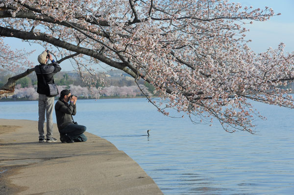 photograph-cherry-blossoms-along-the-Tidal-Basin