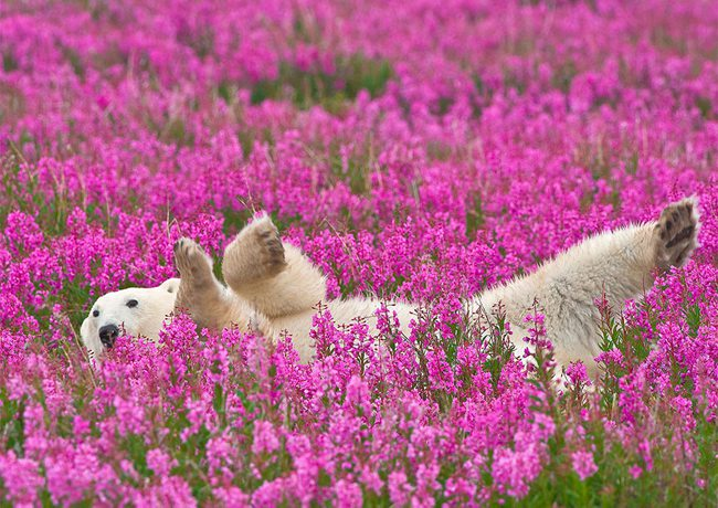 Polar Bears Playing In Flower Fields Captured by Dennis Fast 1