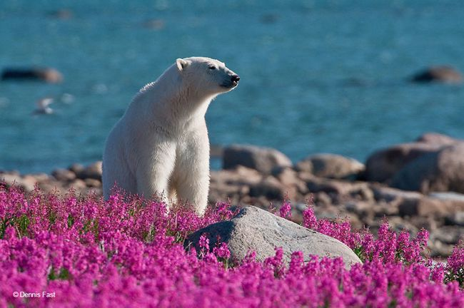 Polar Bears Playing In Flower Fields Captured by Dennis Fast 10