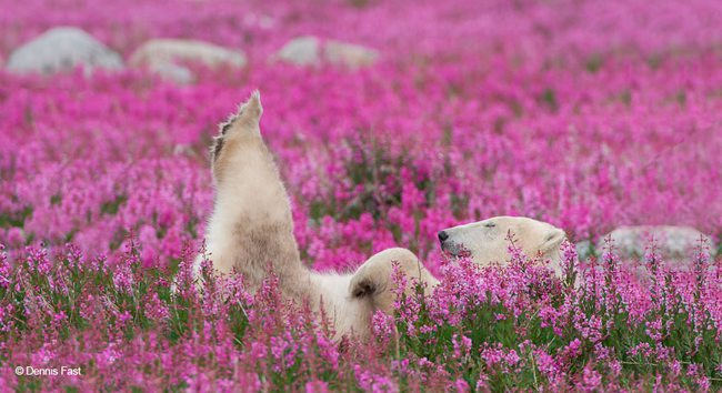 Polar Bears Playing In Flower Fields Captured by Dennis Fast 2