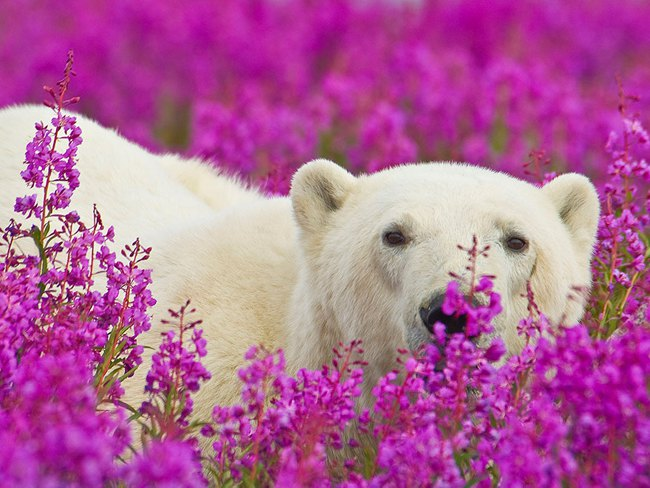 Polar Bears Playing In Flower Fields Captured by Dennis Fast 3