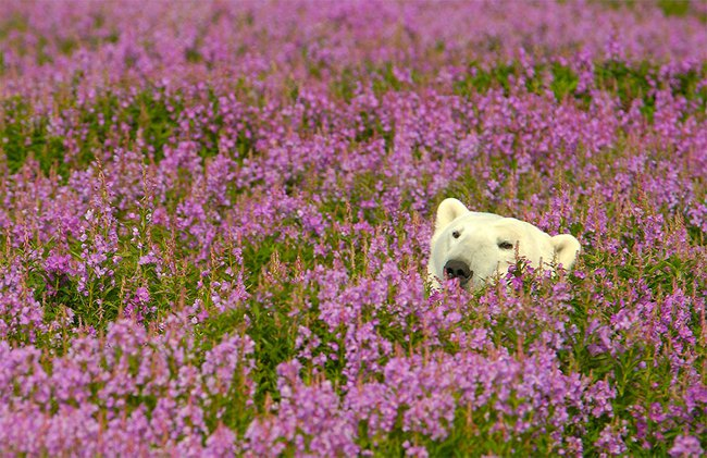 Polar Bears Playing In Flower Fields Captured by Dennis Fast 4