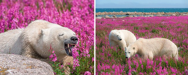 Polar Bears Playing In Flower Fields Captured by Dennis Fast 6