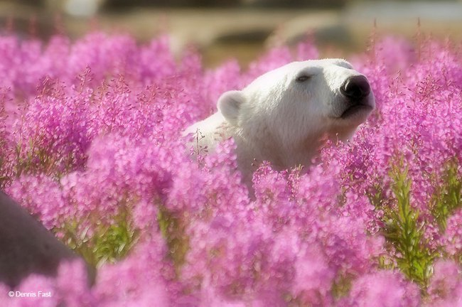 Polar Bears Playing In Flower Fields Captured by Dennis Fast 7