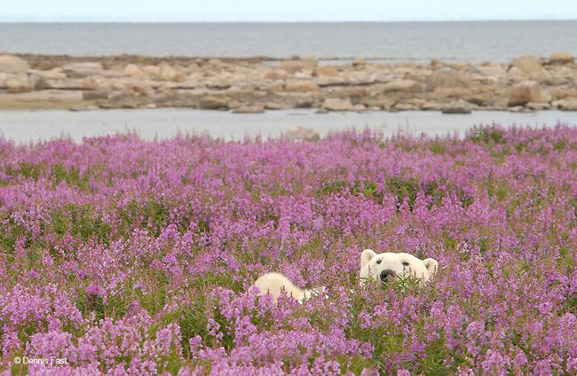 Polar Bears Playing In Flower Fields Captured by Dennis Fast 8