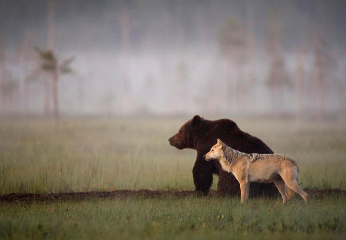 Rare Animal Friendship Between a Wolf and a Bear 1