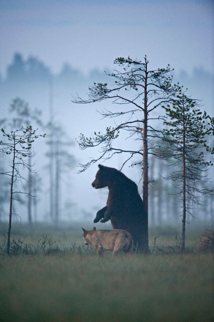 Rare Animal Friendship Between a Wolf and a Bear 10
