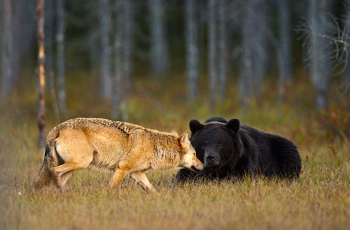 Rare Animal Friendship Between a Wolf and a Bear 2