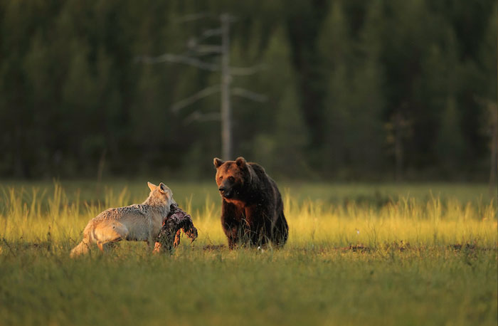 Rare Animal Friendship Between a Wolf and a Bear 3