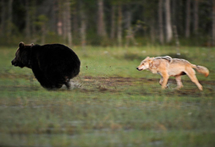 Rare Animal Friendship Between a Wolf and a Bear 4
