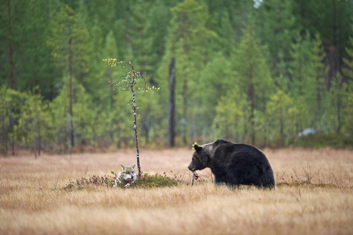 Rare Animal Friendship Between a Wolf and a Bear 5