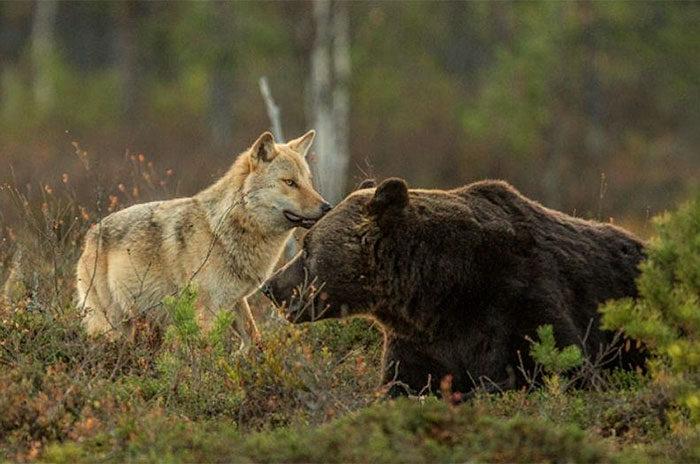 Rare Animal Friendship Between a Wolf and a Bear 6