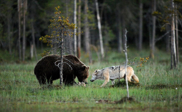 Rare Animal Friendship Between a Wolf and a Bear 7