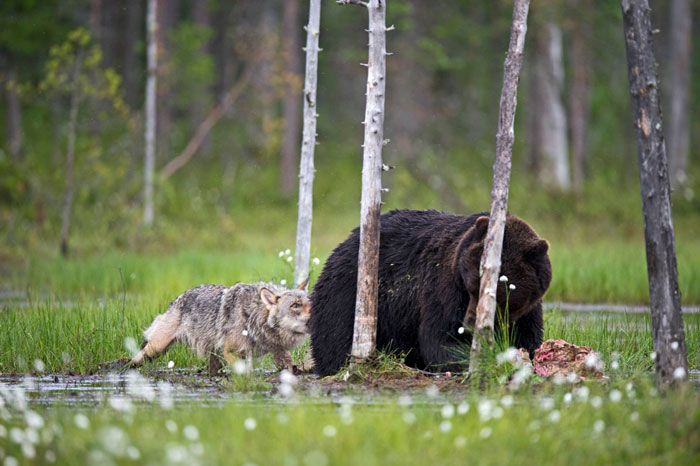 Rare Animal Friendship Between a Wolf and a Bear 8