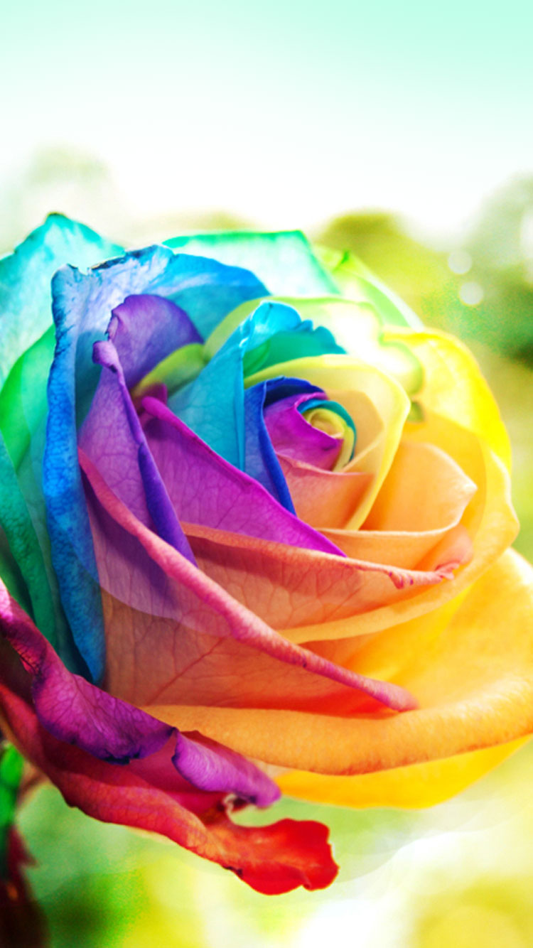 Colorful Rose iphone 6 iphone 6s wallpaper