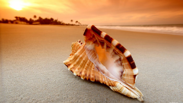 Conch Shell on Sunset Beach Photo
