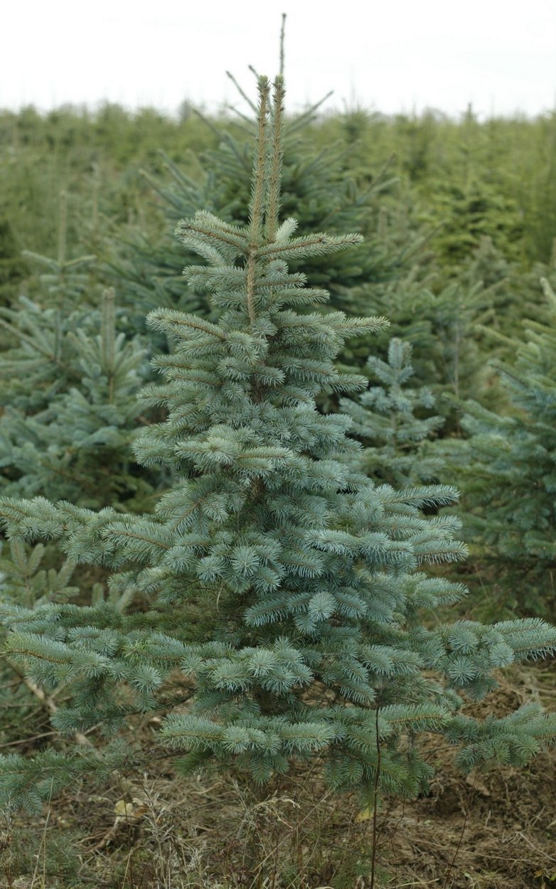 Blue spruce for Christmas Tree