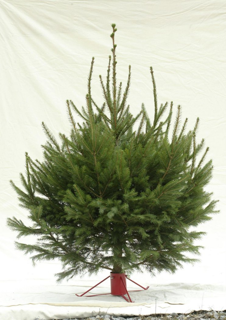 Norway spruce for Christmas Tree