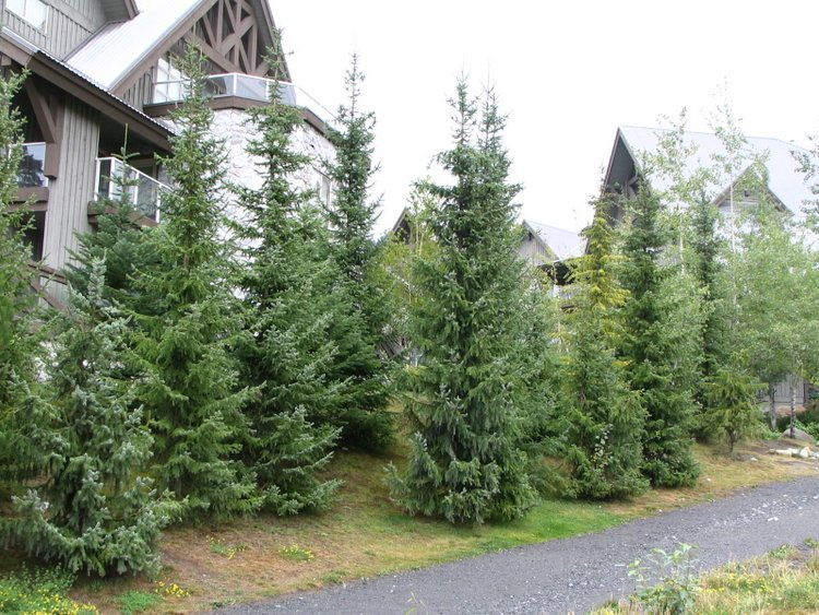 Serbian spruce for Christmas Tree