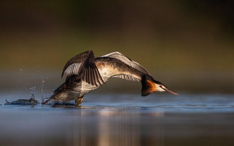 Great Crested Grebe Podiceps cristatus.